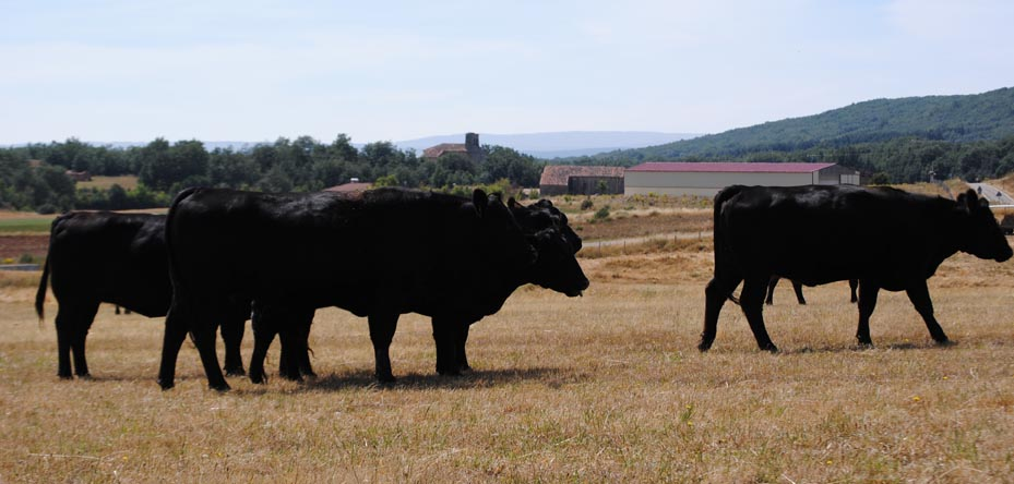 own cattle, Angus breed